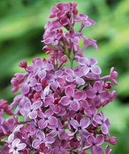 Load image into Gallery viewer, Syringa hyacinthiflora 'Pocahontas'