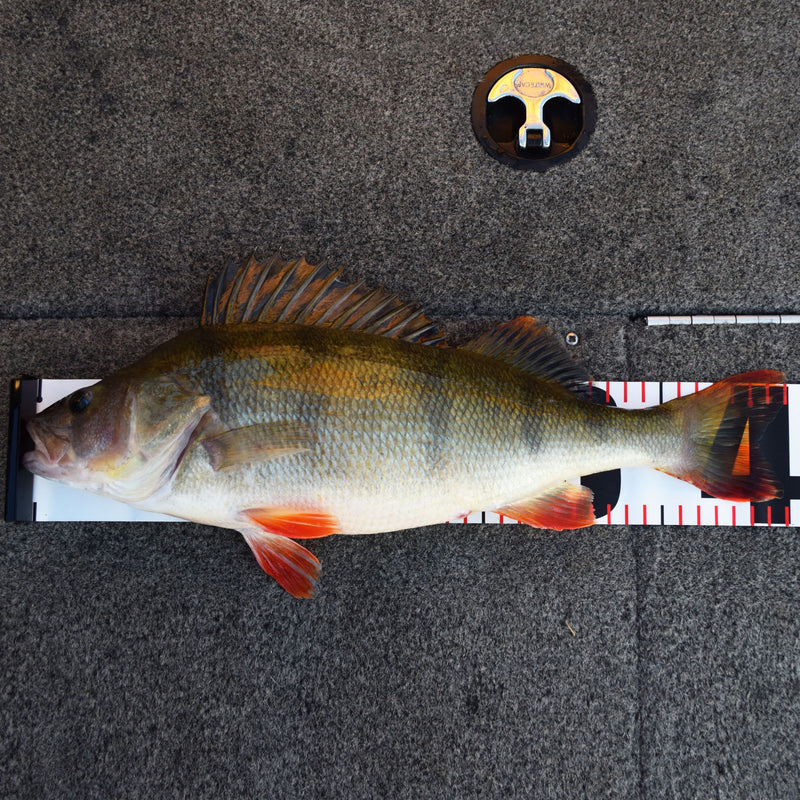 The Perch Master Meassure Scale