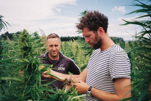 Growing Hemp in NZ | The Brothers Green