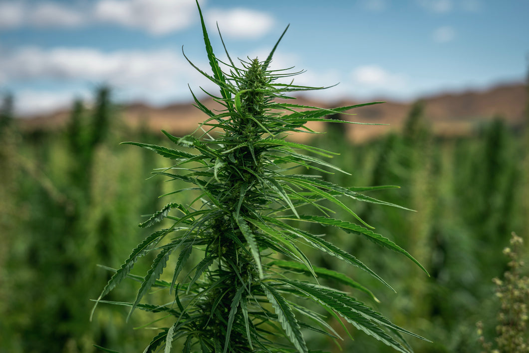 Plant Based NZ The Brothers Green Hemp Farm New Zealand
