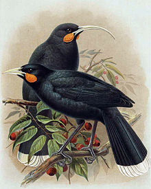 Huia Painting by J. G. Keulemans from W.L Buller's A History of the Birds of New Zealand (1888)