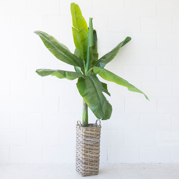 Archipelago Banana Tree