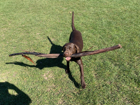 Baxter with a massive stick