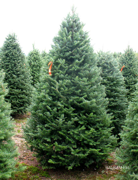 9ft -13ft Premium Balsam Fir <br> Christmas Tree