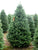Premium Balsam Fir <br> Christmas Tree