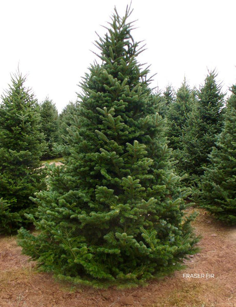 [Extended] Weekend Sale Fraser Fir