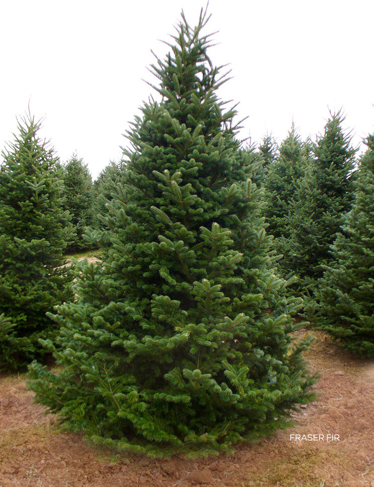 Premium Fraser Fir Christmas Tree (Groupon)