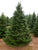 Premium Fraser Fir Christmas Tree