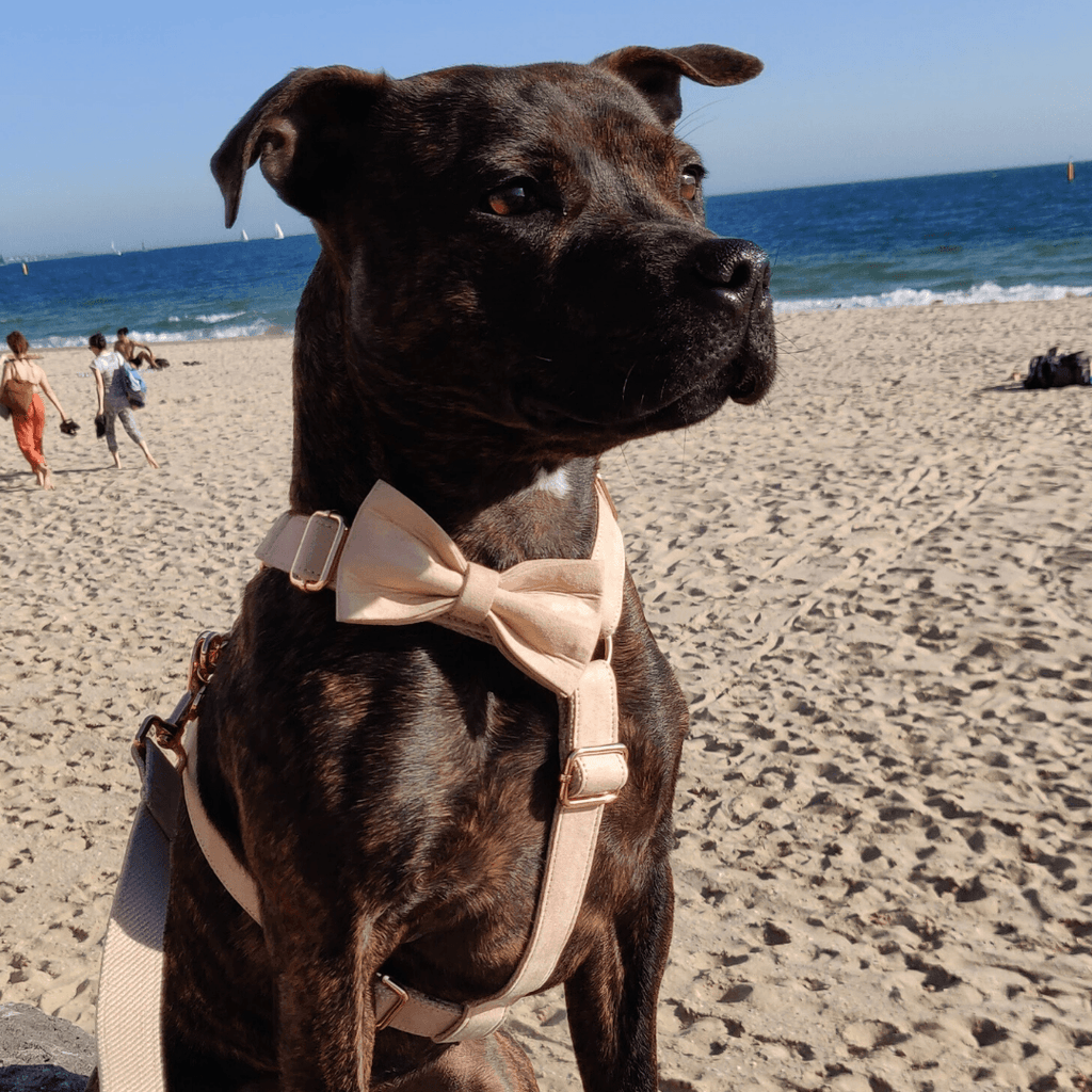 Dog Bow Tie Velvet Wheat | Timeless - SnuggleDogz