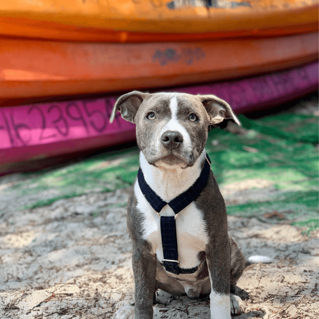 Dog Harness Blue | Dapper - SnuggleDogz