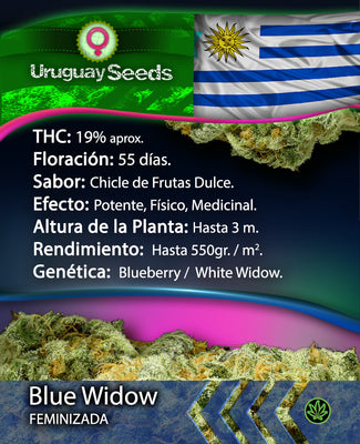 BLUE WIDOW - PACK X3