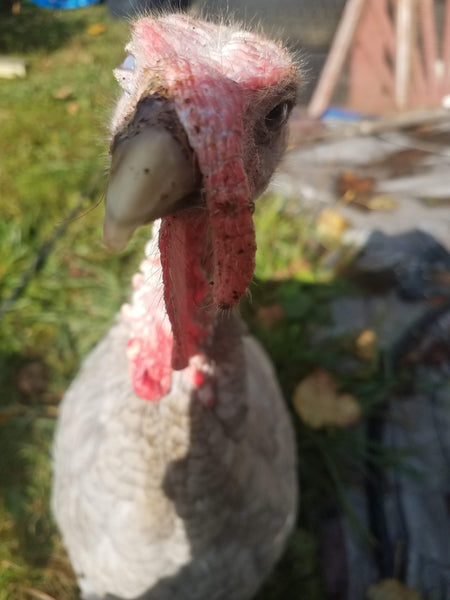So you're thinking about getting turkeys... Ha!
