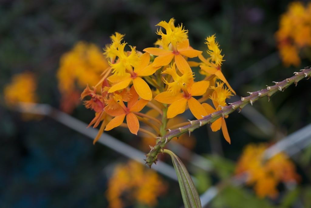 Plants 101: Epidendrum Orchids