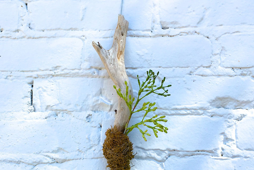 How To Make a Rhipsalis Branch Planter