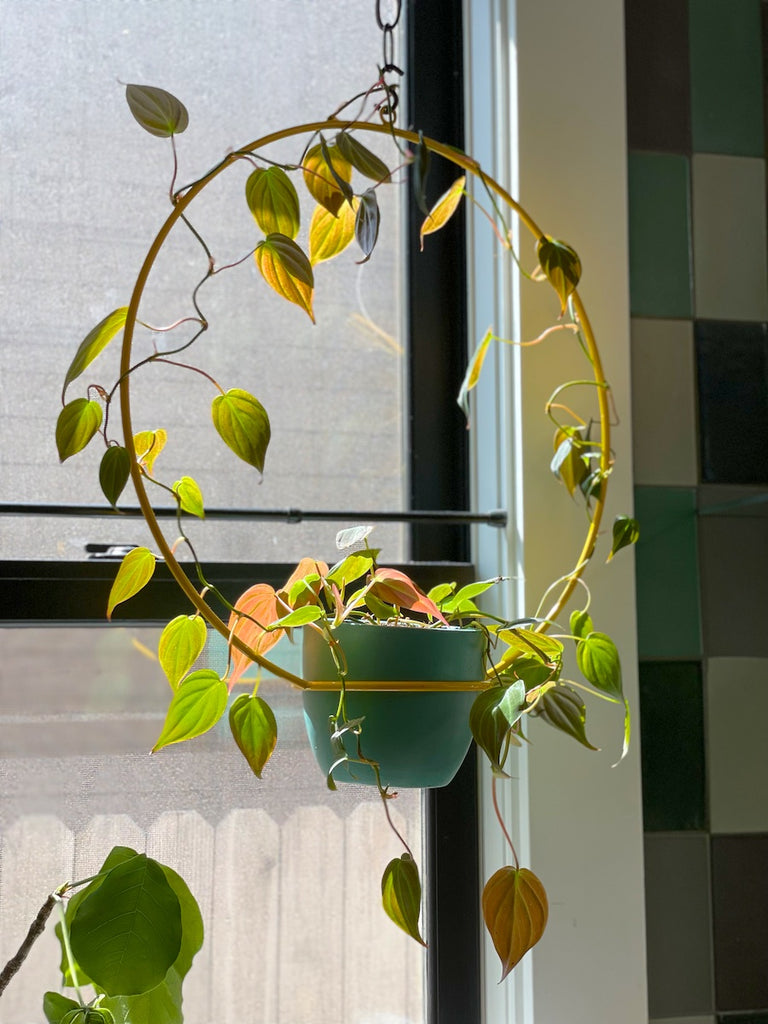 Hanging planter by NewMade LA with a Philodendron Micans.