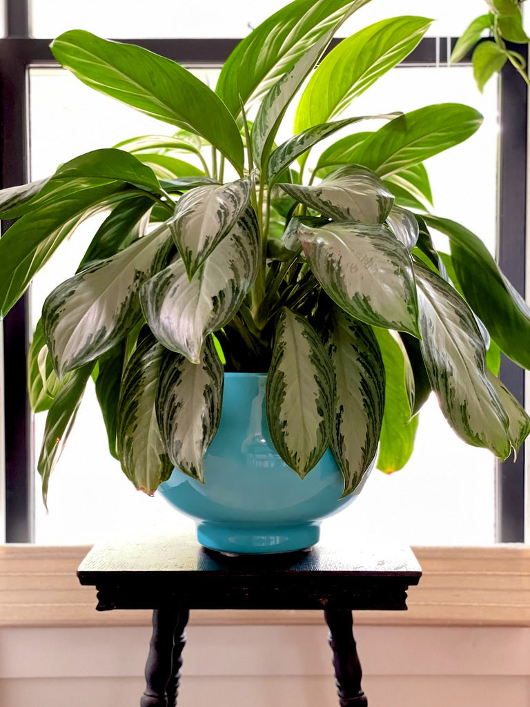 Chinese evergreen Agleonema 'silver bay' in entry way.