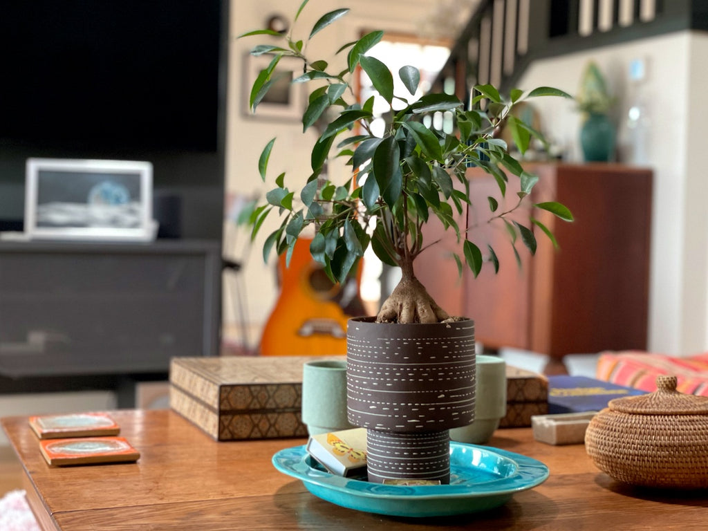 Ficus 'ginseng' on a living room coffee table.