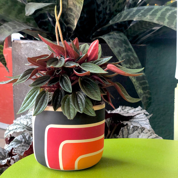 Black Mountain Heatwave style planter with peperomia rosso plant.