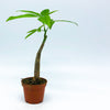 Pachira Aquatica 'Money Tree' 2""