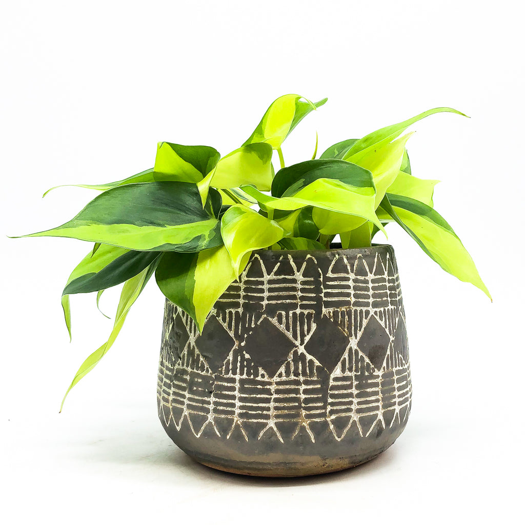 Naima Pot with a philodendron cordatum brasil