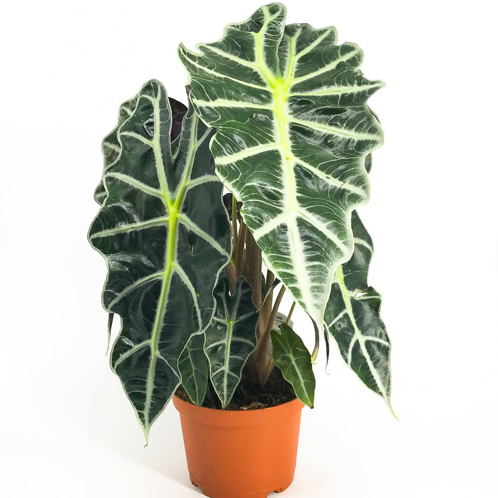 Alocasia Polly 'African Mask' 6""