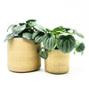 Gold Stamped Pots with peperomia frost