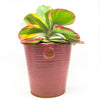 Pink ribbed planter with a Kalanchoe Thyrsiflora Tricolar