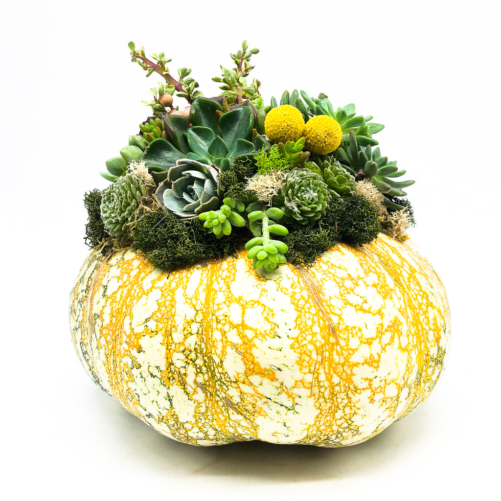 Orange and white pumpkin center piece planting with assorted succulents