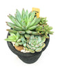 Black Egyptian planter with assorted succulents