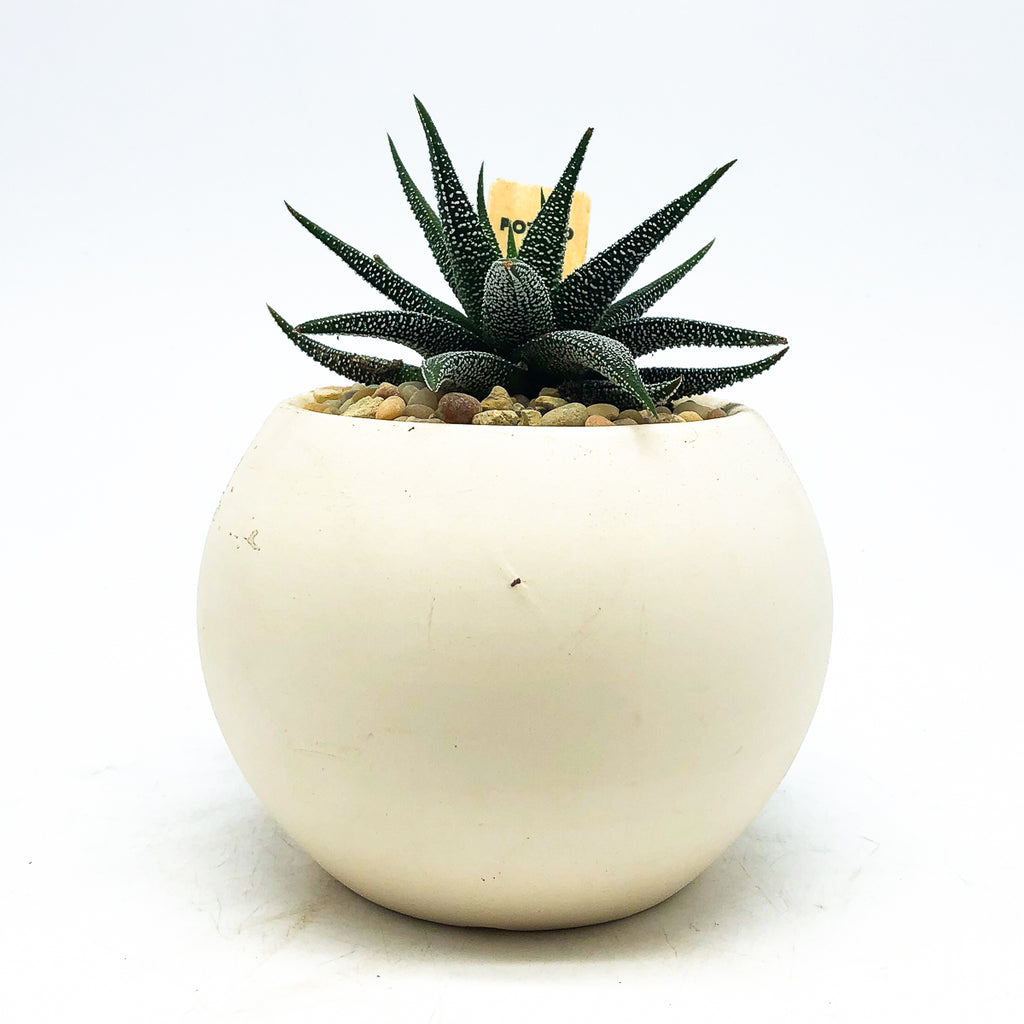 Round white planter with a Haworthia