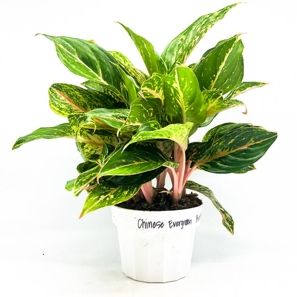Aglaonema 'Butterfly' - Chinese Evergreen 6""