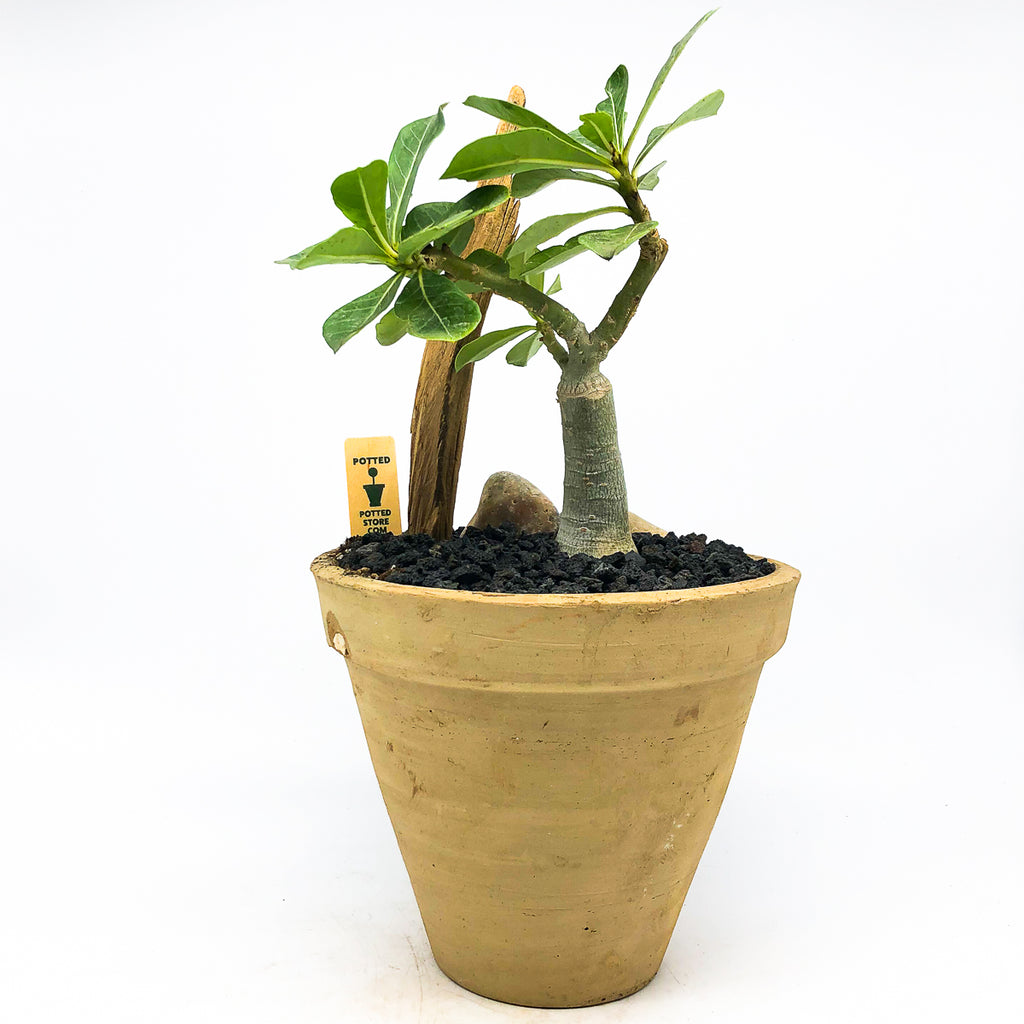 Terra-cotta Egyptian planter with an Adenium Obesum aka Desert Rose