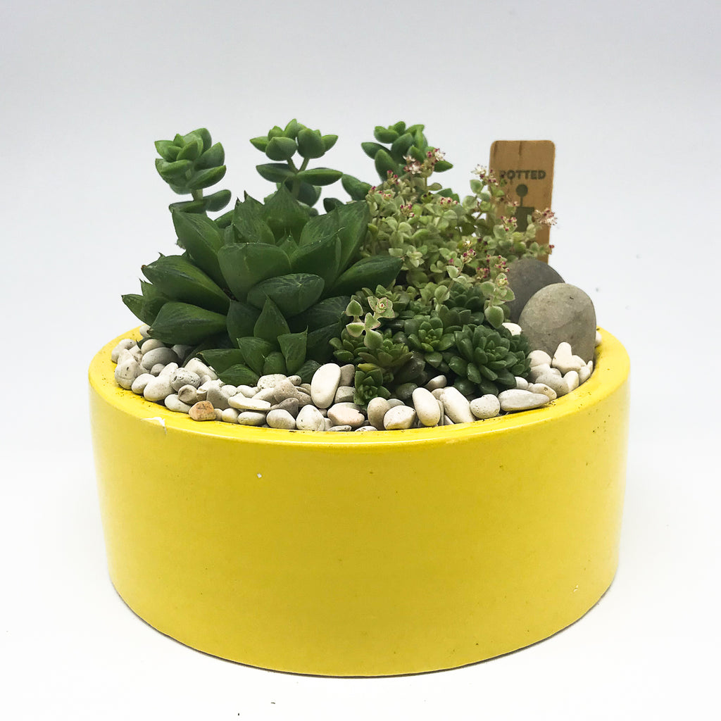 Large yellow planter with assorted succulents