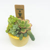 Small yellow planter with assorted succulents