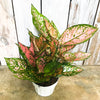 Aglaonema  'Red Valentine' - Chinese Evergreen