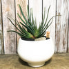 Large white planter with Kumara Plicatilis aka Fan Aloe