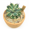 Terracotta planter with succulent