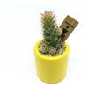 Small yellow pot with a cactus