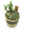 Desert Pot with assorted succulents