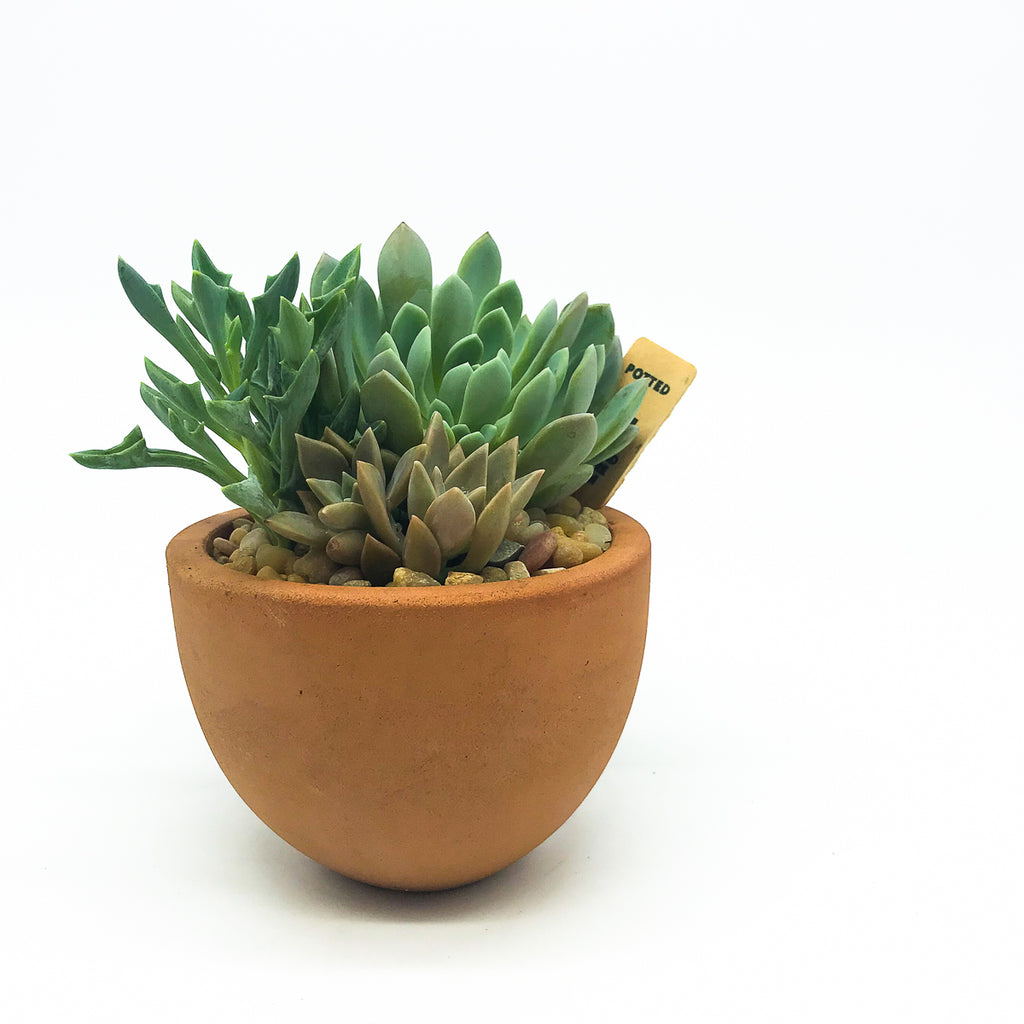 Terracotta pot with assorted succulents