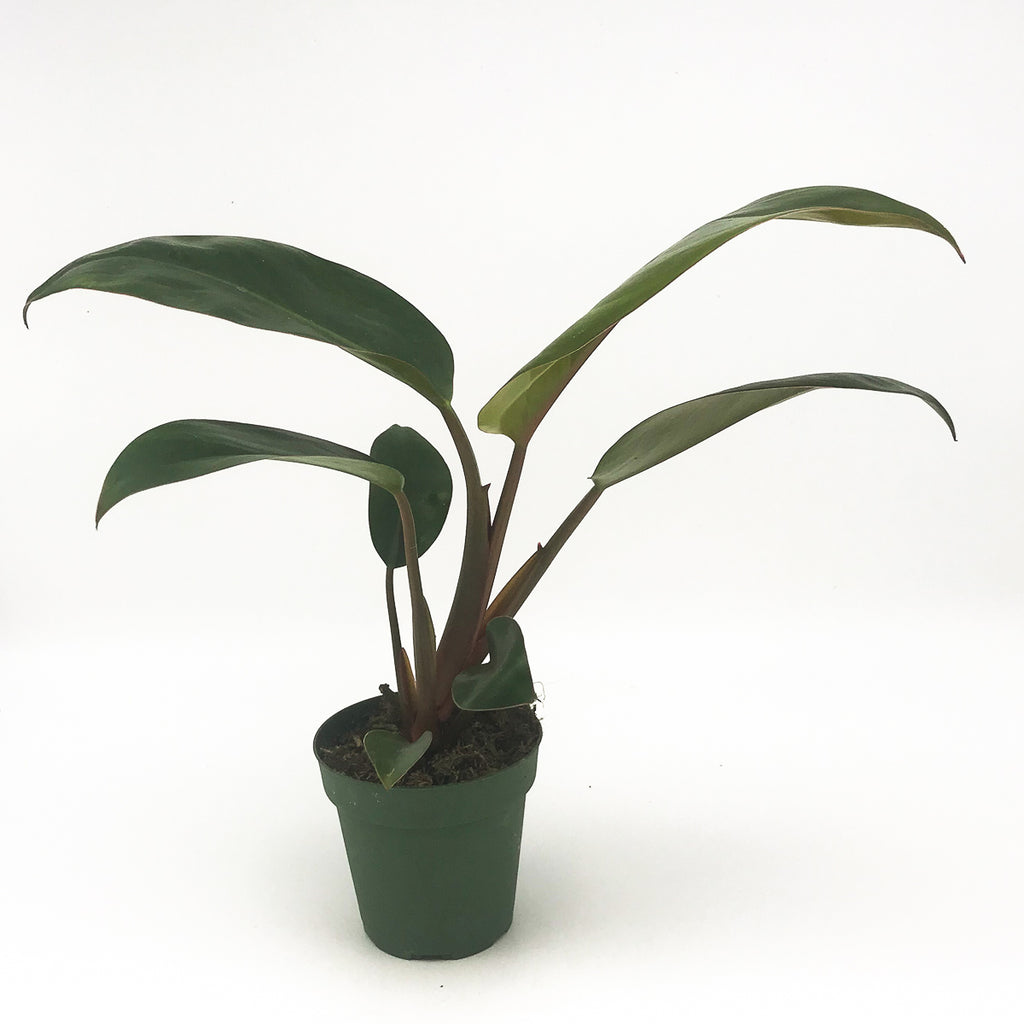 Philodendron Red Congo Rojo
