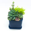 Dark Blue Svek Cube with assorted succulents
