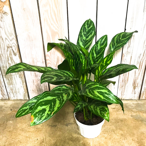 Aglaonema Tigress 6""