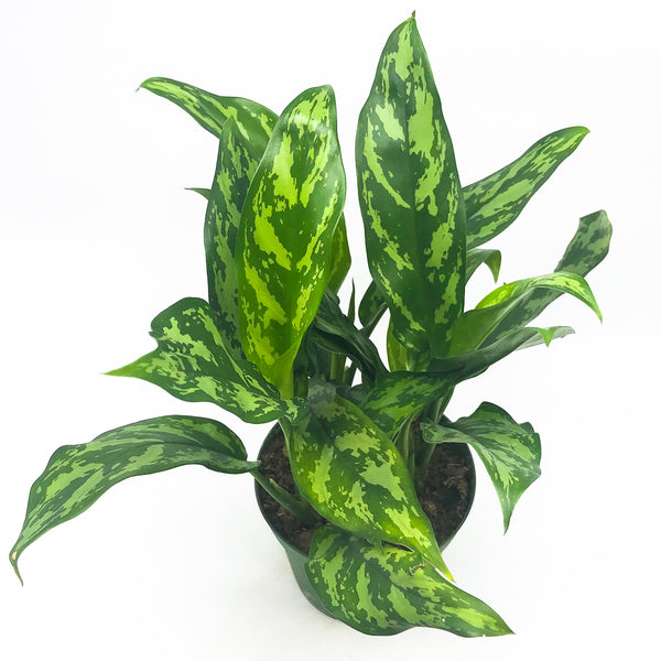 Aglaonema 'Maria' - Chinese Evergreen 6""
