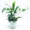Phlebodium Aureum 'Blue Star Fern' 4""