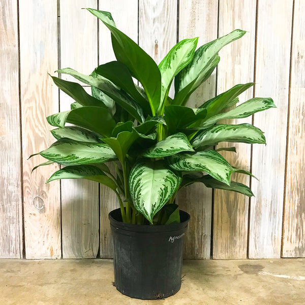 Aglaonema 'Silver Bay' - Chinese Evergreen 9""