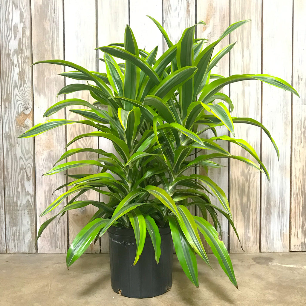 Dracaena Lemon Lime 10""