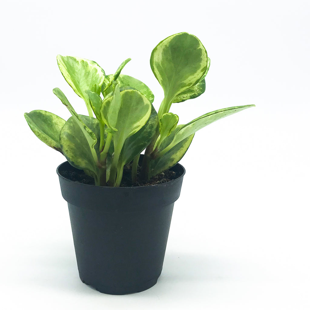 Variegated Peperomia Radiator Plant 4 Potted