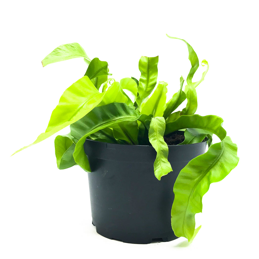 Asplenium antiquum 'Hurricane Bird's Nest Fern' 6""