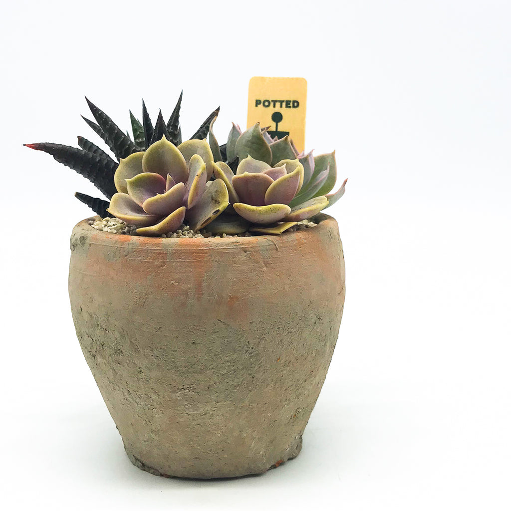 Egyptian Pot with Haworthia Limifolia and assorted succulents